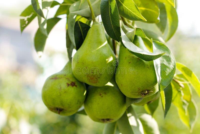 Träd med gröna päron på solnedgång fotografering för bildbyråer