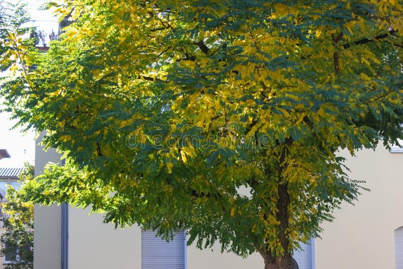 träd med gul färg av nedgången på en solig dag i oktober på souen arkivfoton