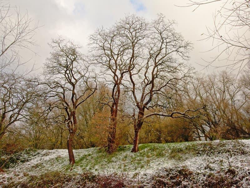 Träd med lockiga filialer på en lutning med den insnöade Bourgoyen naturreserven, Ghent, Belgien royaltyfria bilder