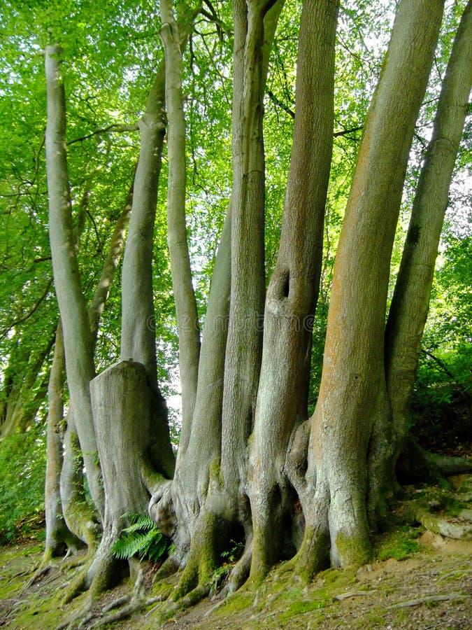 Träd med många stammar arkivbilder