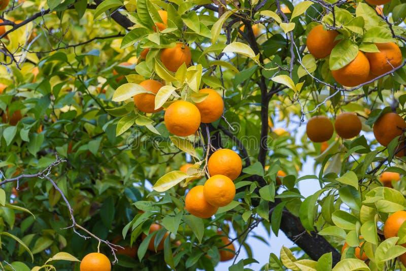 Träd med mandarinas som är typiska i Sevillaen, Spanien royaltyfria bilder
