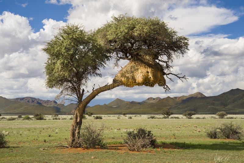 Träd med massor av vävarefåglars reden arkivbilder