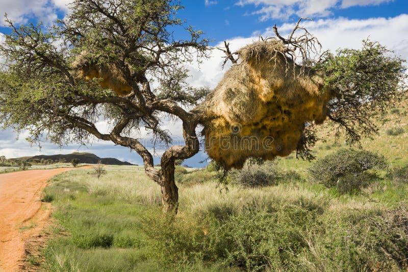 Träd med massor av vävarefåglars reden arkivbild
