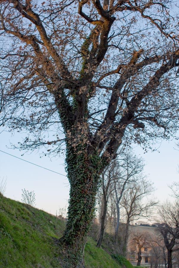 Träd med murgrönan i aftonen fotografering för bildbyråer