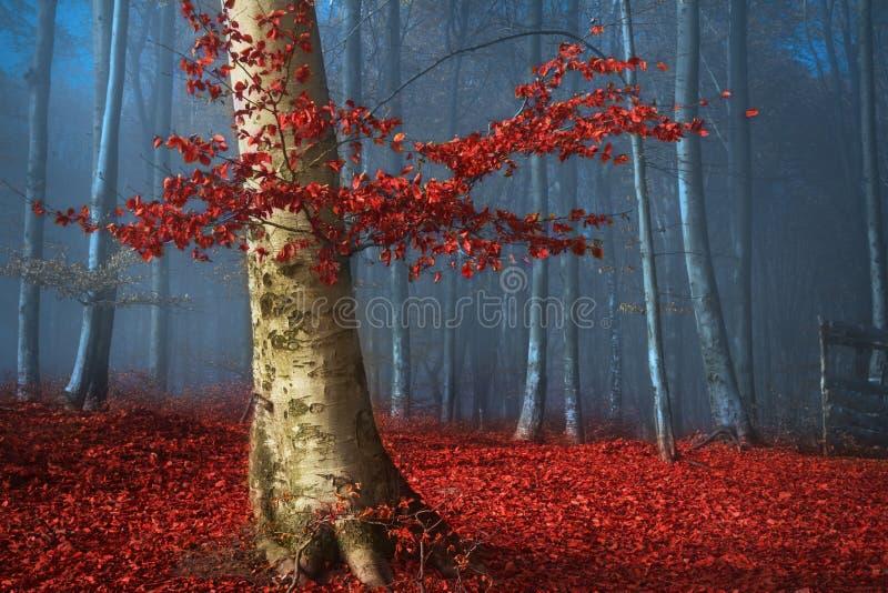 Träd med röda sidor i blå dimmig skog under höst royaltyfria foton