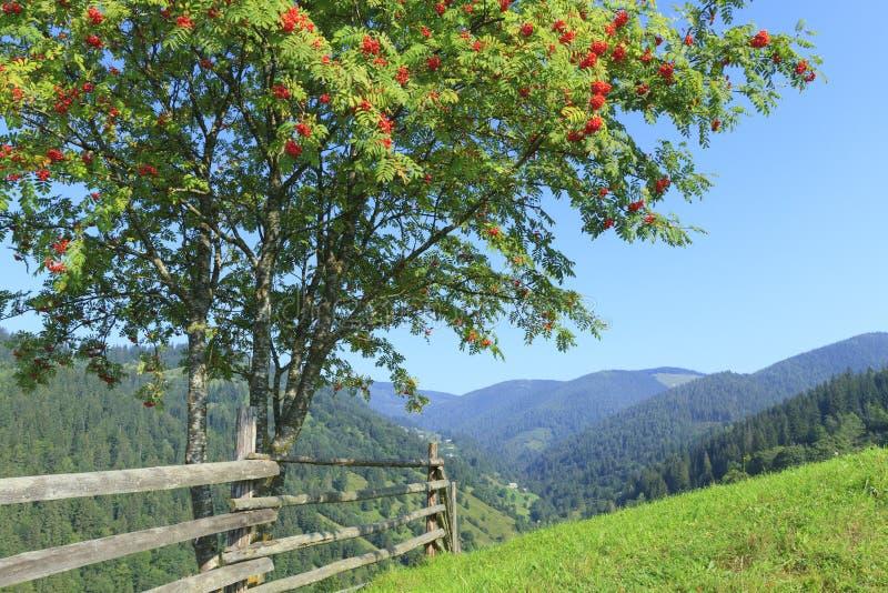 Träd med rönnbär i bergen av Carpathians arkivbilder