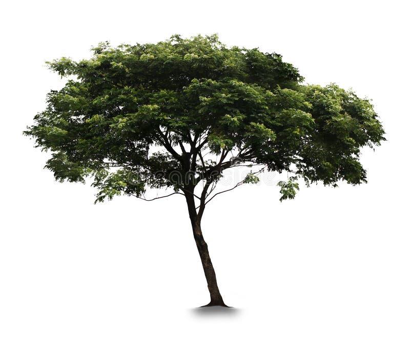 Träd med vit bakgrund royaltyfri foto