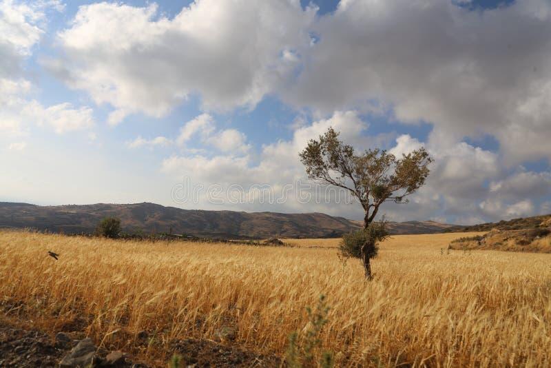Träd mot en härlig himmel med moln och ett fält av råg i bergen av Cypern royaltyfri foto
