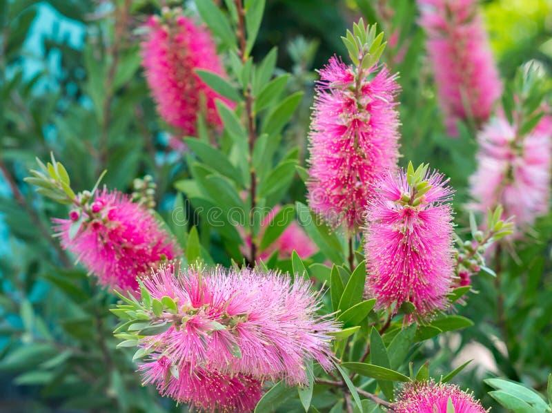 Träd och blomma för flaskborste royaltyfri fotografi