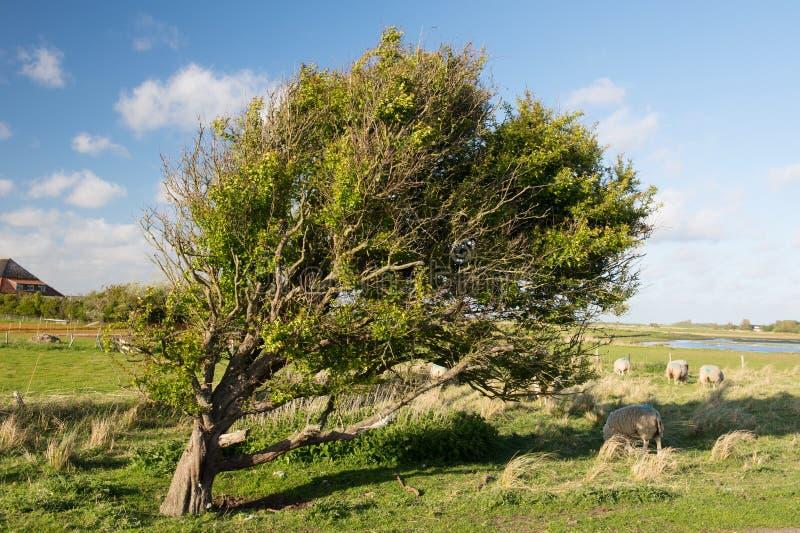 Träd och får i Horspoldersen på holländare Texel royaltyfri fotografi