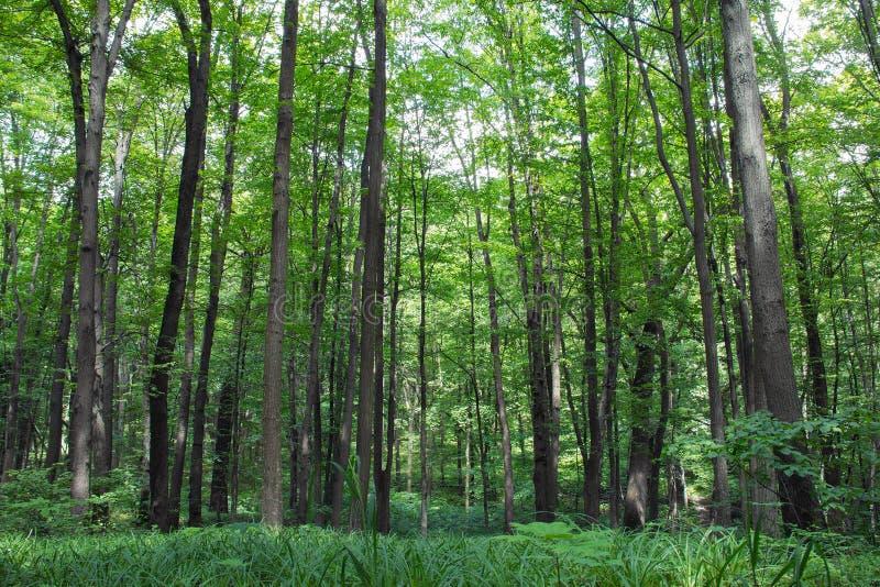 Träd och gräs för bokträd högväxta gröna i vårskog royaltyfria bilder