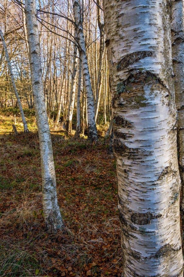 Träd och jordning för skog för björkträd som härliga vita täckas med sidor royaltyfri foto