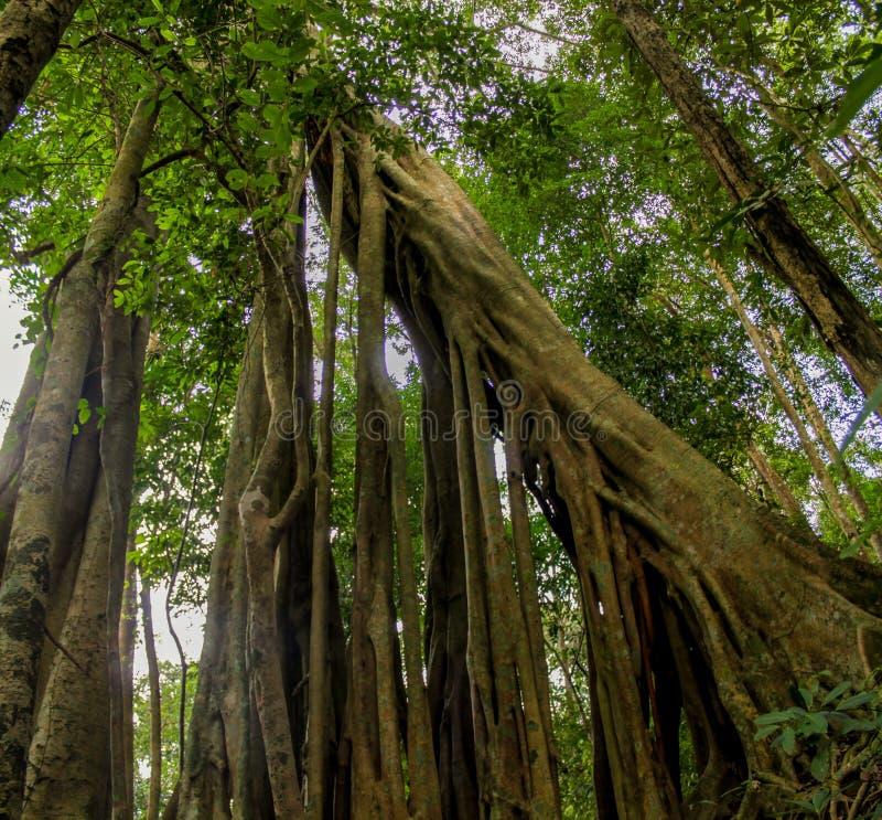 Träd och lianer för djungelskogbanyan arkivfoton