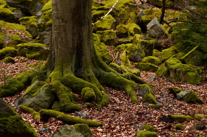 Träd och stenar som täckas av mossa royaltyfri foto