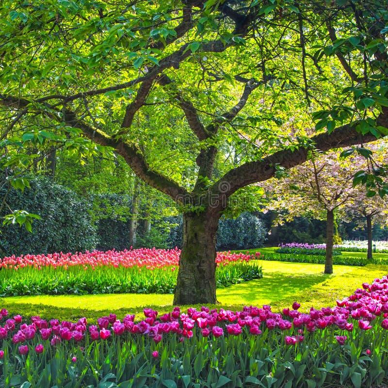 Träd- och tulpanblommaträdgård eller fält i vår. Nederländerna royaltyfria bilder