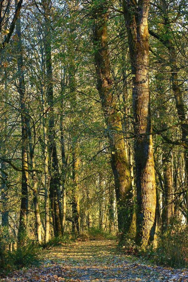 Träd omger en bana som skräpas ner med sidor i ottaljuset royaltyfri fotografi