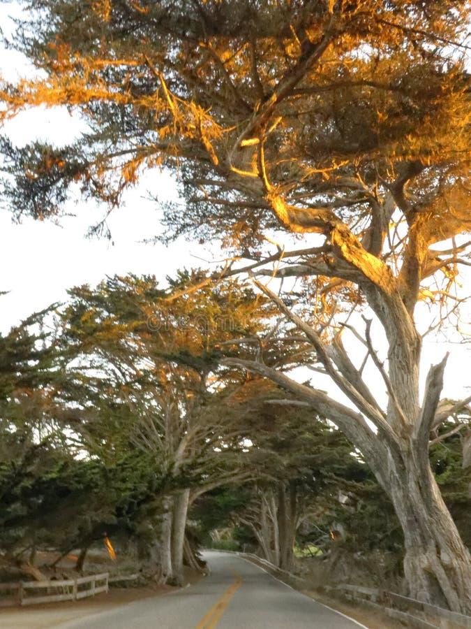 Träd på Carmel arkivbild