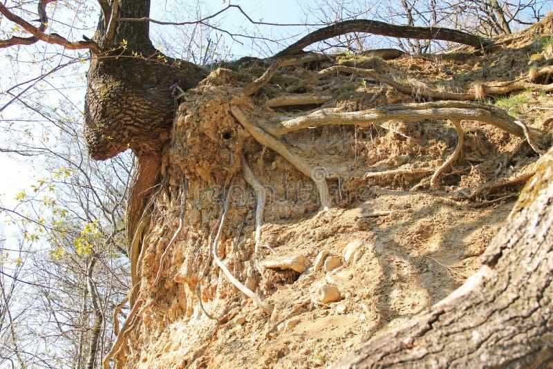 Träd på den torra lutningen fotografering för bildbyråer