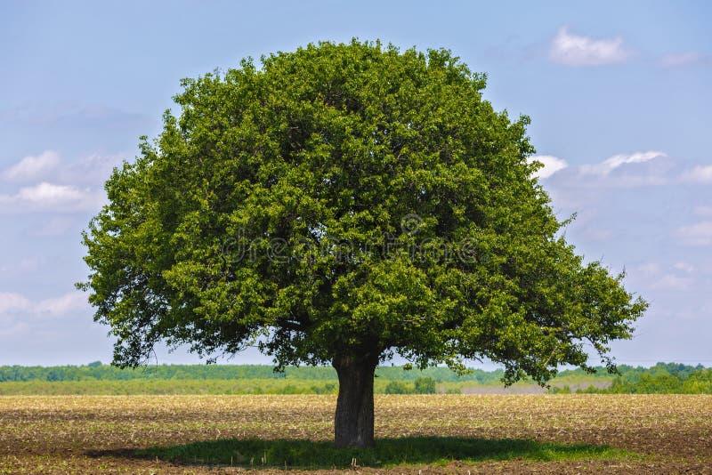 Träd på ett jordbruks- fält royaltyfri fotografi