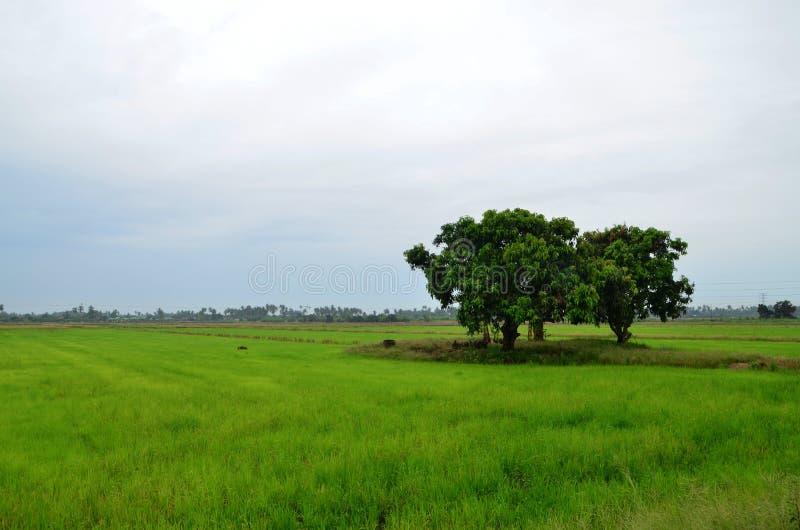 Träd på risfältfältet Sikt för irländarefält i morgonen arkivfoto