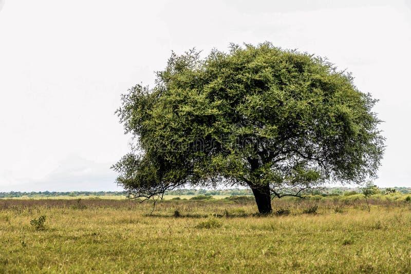 Träd på savann arkivbilder