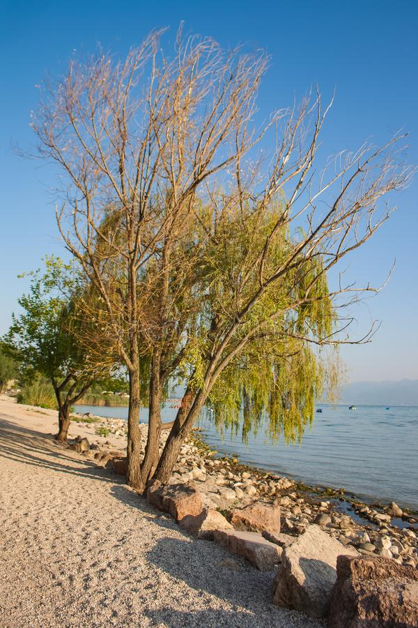 Träd på stranden på Garda sjön royaltyfri foto