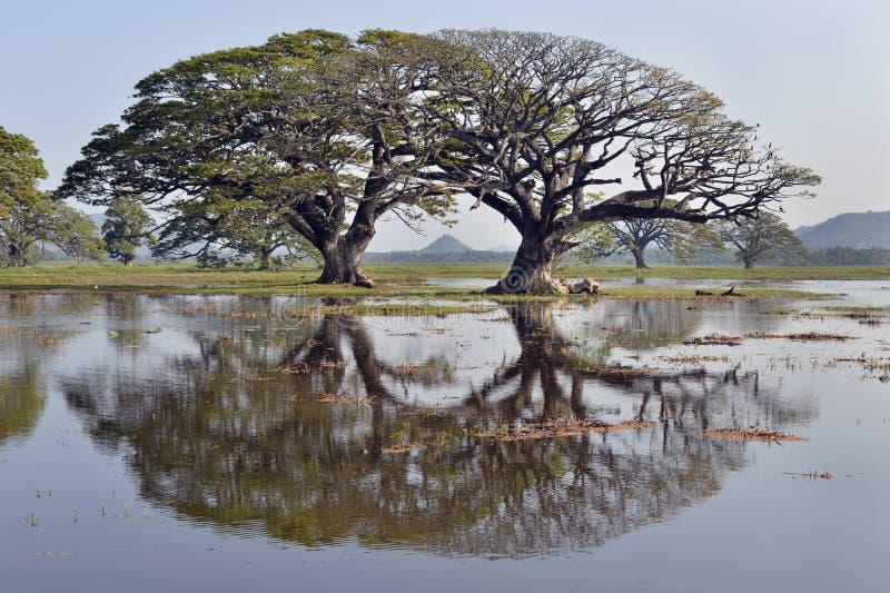 Träd reflekterade i sjön Tissa Wewa, Sri Lanka arkivfoto