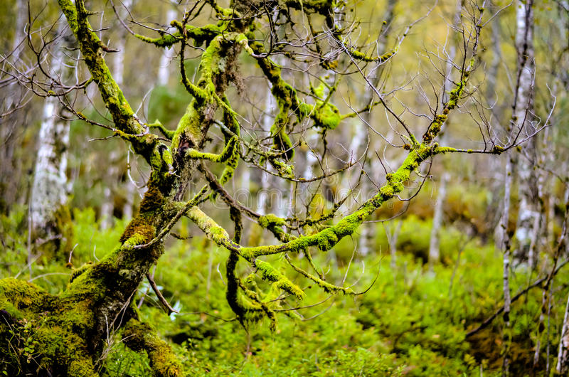 Download Träd Som är Fullvuxet Med Mossa I Skog Fotografering för Bildbyråer - Bild av park, closeup: 78725351