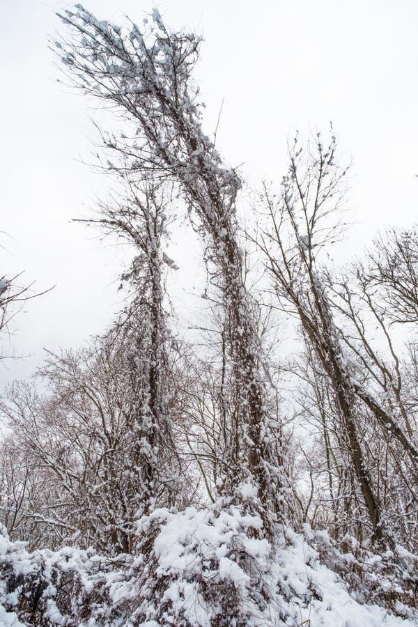 Träd som böjer tung snö arkivbild