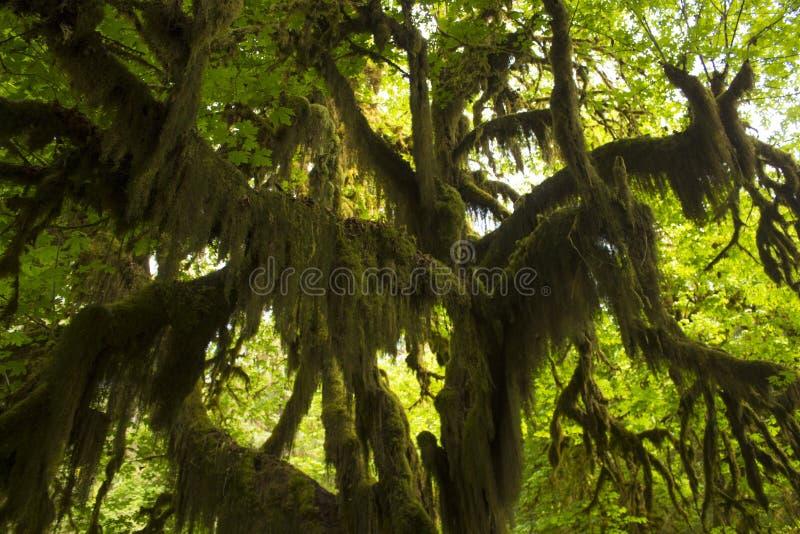 Träd som dryper mossa i regnskog fotografering för bildbyråer