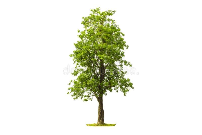 Träd som isoleras med vit bakgrund arkivfoto