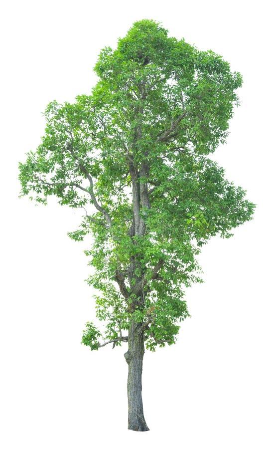 Träd som isoleras på en vit bakgrund med den snabba banan royaltyfria bilder