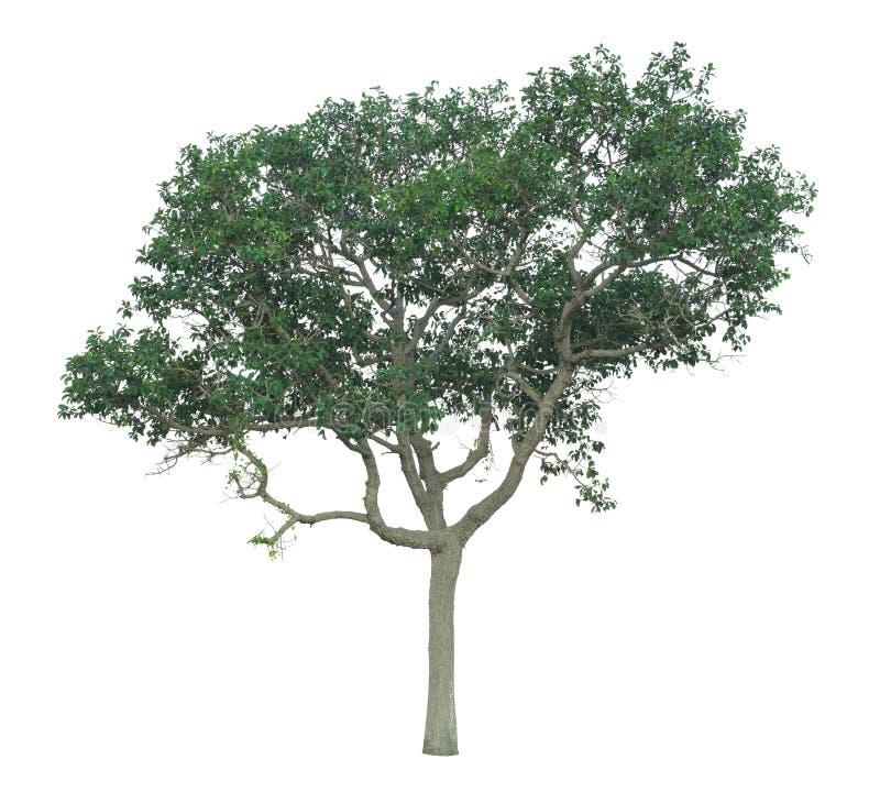 Träd som isoleras på en vit bakgrund med den snabba banan arkivfoton
