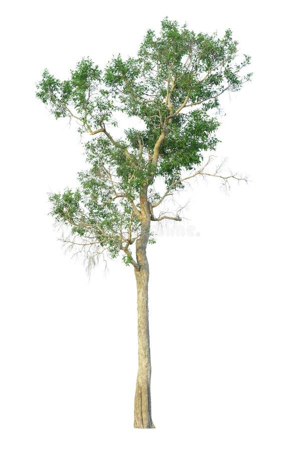 Träd som isoleras på en vit bakgrund med den snabba banan arkivbild