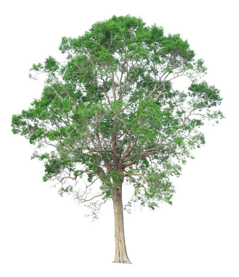 Träd som isoleras på en vit bakgrund med den snabba banan arkivfoto