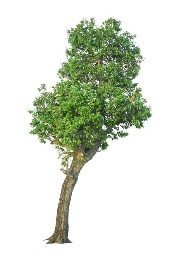 Träd som isoleras på en vit bakgrund med den snabba banan royaltyfri fotografi