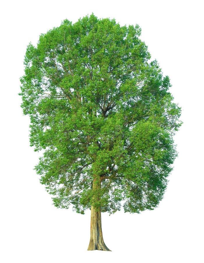 Träd som isoleras på en vit bakgrund med den snabba banan fotografering för bildbyråer