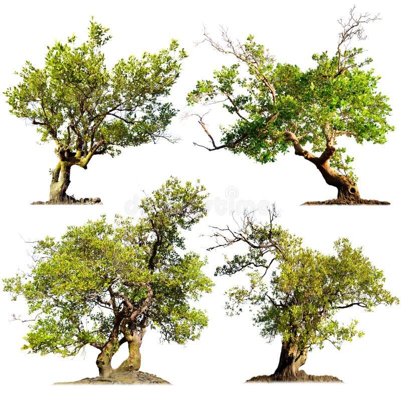Träd som isoleras på vit bakgrund. Gröna naturväxter arkivfoton
