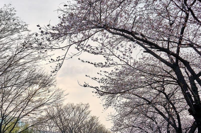 Träd som lutar till vänstersidan med fulla körsbärsröda blomningar på dess filialer arkivfoton