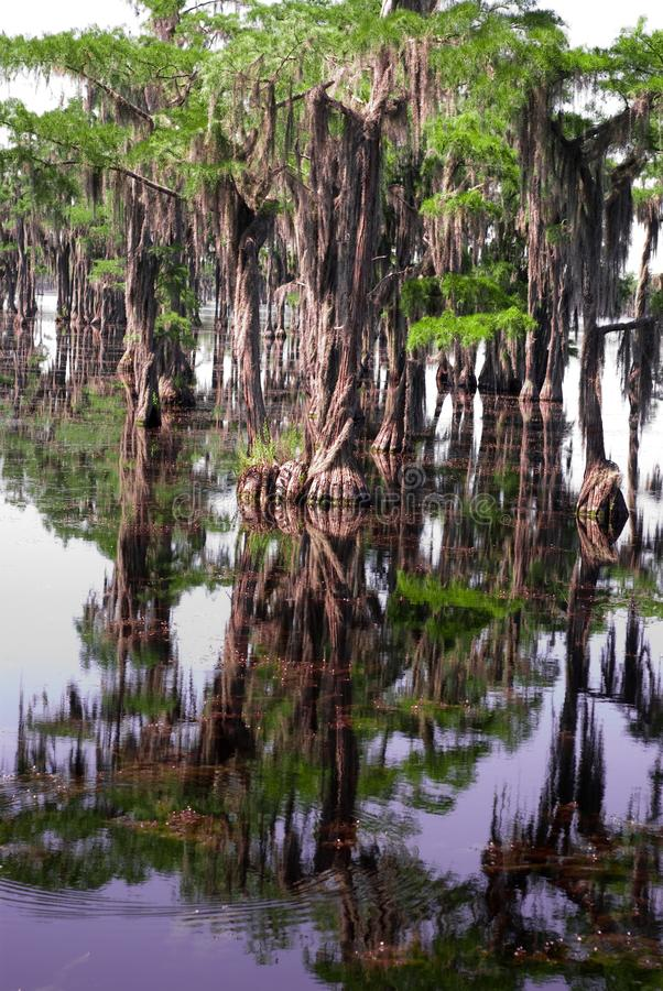 Träd som reflecing i träsk royaltyfri bild