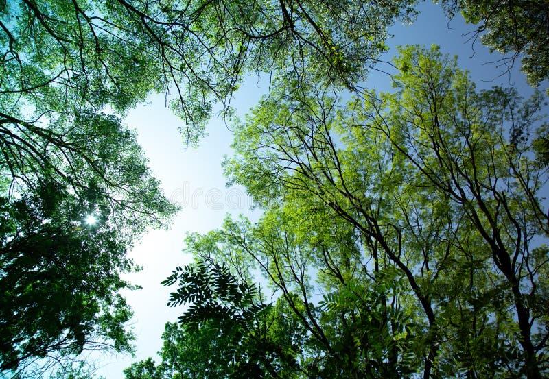 Träd- som står vid, och lockfilialer med gröna sidor på klar blå himmel royaltyfri bild