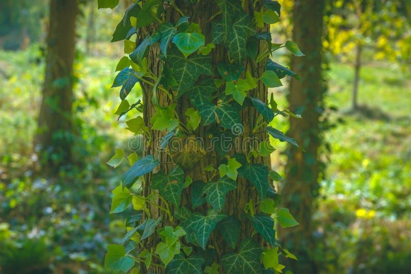 Träd som täckas med gröna sidor av den lösa druvan Naturlig bakgrund fotografering för bildbyråer