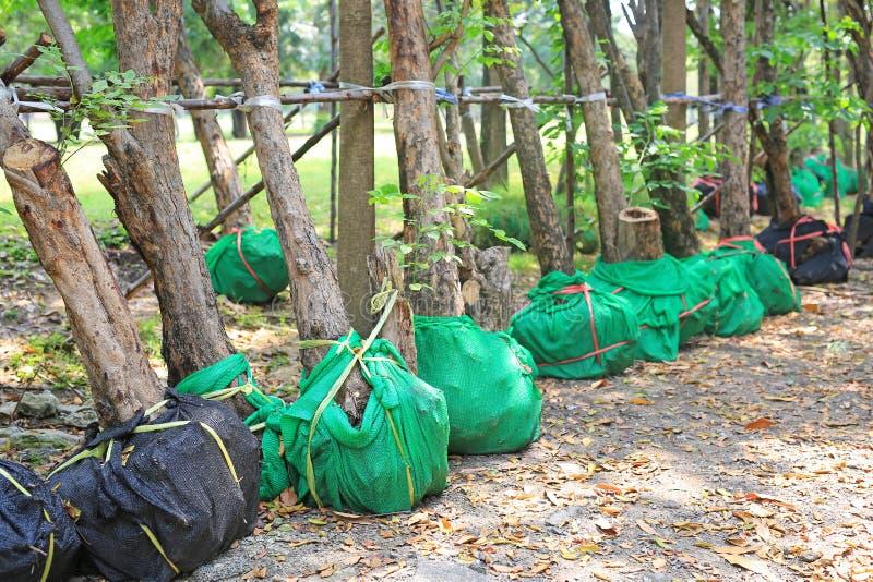Träd som väntar på att plantera i trädgården Sjalen rotar f?r f?r att f?rminska brist av vatten royaltyfri fotografi