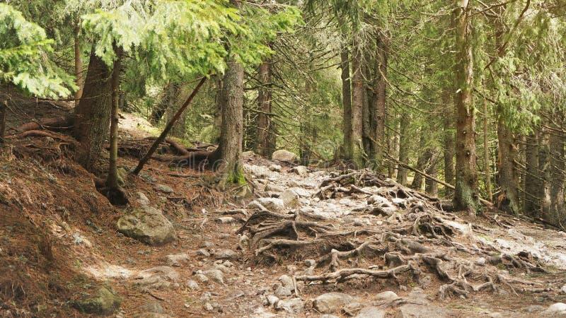 Träd som växer i berg, som sedda under vandring i höga Tatras, Slovakien, det stora trädet, rotar växer över vaggar och stenar på royaltyfria foton