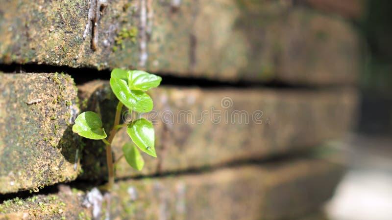 Träd som växer i tegelstenen Forntida gammal vägg för röd tegelsten med den lilla gröna trädgrodden i vägg Begrepp av hopp och på royaltyfria foton