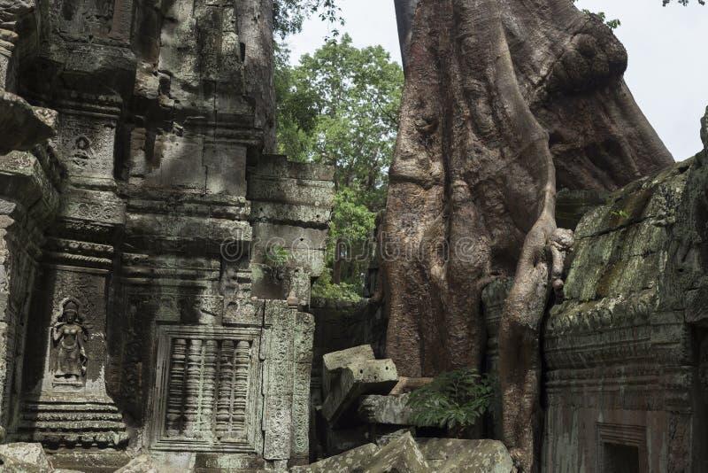 Träd som växer mellan väggarna av templet för Ta Prohm i Angkor arkivbilder