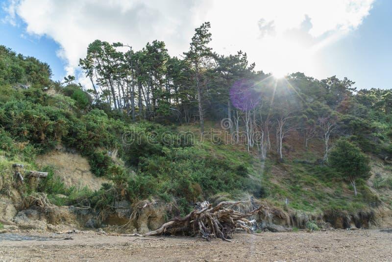 träd som växer på den sandiga klippan med solen som igenom skiner, regionala Waitawa, parkerar, royaltyfria foton