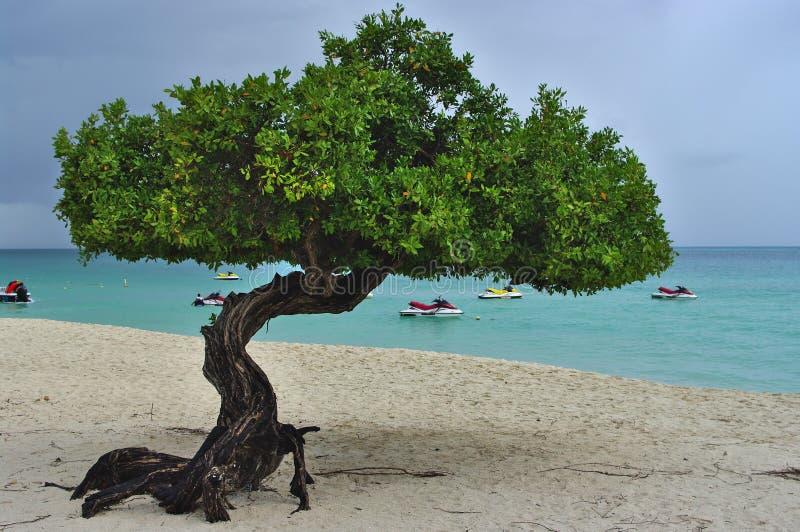 Träd som växer på den tropiska stranden royaltyfria bilder