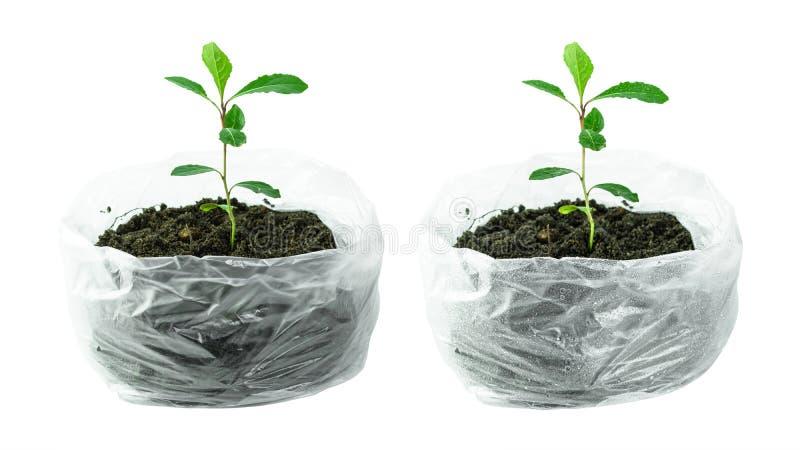 Träd som växer vid plantor i plastpåsen med vattendroppar som isoleras på ren vit bakgrund Miljö och plast- i jorddag royaltyfria foton