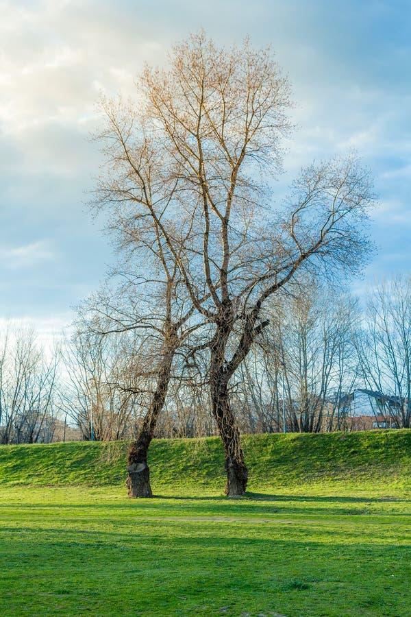Träd utan sidor i det gröna fältet royaltyfria bilder